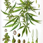 500px-Cannabis_sativa_Koehler_drawing